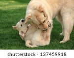 Stock photo golden retriever adult and puppy laying on green grass 137459918