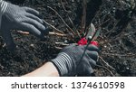 cutting branches at spring.... | Shutterstock . vector #1374610598