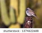 white crowned sparrow ... | Shutterstock . vector #1374622688