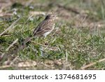 a meadow pipit in the garden | Shutterstock . vector #1374681695