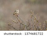 a meadow pipit in the garden | Shutterstock . vector #1374681722