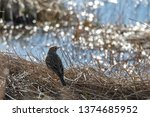 a meadow pipit in the garden | Shutterstock . vector #1374685952