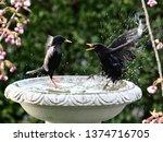 starlings and blackbirds in... | Shutterstock . vector #1374716705