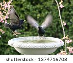 starlings and blackbirds in... | Shutterstock . vector #1374716708