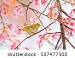 White Eye Bird On Cherry...