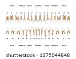 human dentition full... | Shutterstock . vector #1375044848