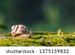 Snail Closeup. Burgundy Snail ...