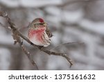 redpoll perched on a branch in... | Shutterstock . vector #1375161632