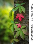 green and red leaves entwining... | Shutterstock . vector #1375167842