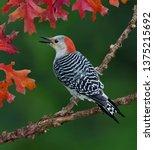 A Red Bellied Woodpecker Is...