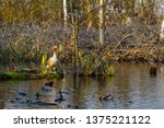 the wild greylag goose in the... | Shutterstock . vector #1375221122