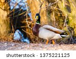 a male duck stands on the edge... | Shutterstock . vector #1375221125