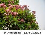 plumeria on plumeria leaves... | Shutterstock . vector #1375282025