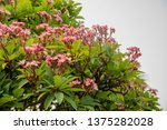 plumeria on plumeria leaves... | Shutterstock . vector #1375282028