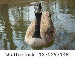 Curious Canadian Goose
