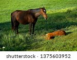 Mare Taking Care Of Her Foal I...