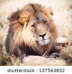 Lion Portrait Looking Straight...