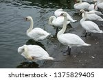 the beautiful white swan... | Shutterstock . vector #1375829405