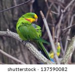 A Superb Parrot  Polytelis...