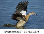 Wild Egyptian Goose Taking Off  ...