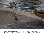 Egyptian Goose And Gosling ...
