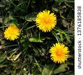 macro photo of a dandelion... | Shutterstock . vector #1376185838