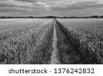 Beverley  Yorkshire  Uk. Wheat...