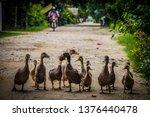 A Family Of Ducks Takes A Walk