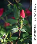 red rose bud blooming in the...   Shutterstock . vector #1376485172