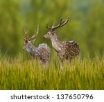 Spotted Deer Alerted