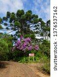 araucaria vegetation in the... | Shutterstock . vector #1376537162