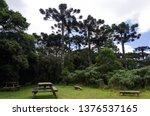 araucaria vegetation in the... | Shutterstock . vector #1376537165