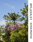 araucaria vegetation in the... | Shutterstock . vector #1376537168