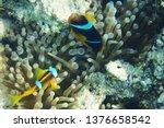 orange nemo clown fish in the... | Shutterstock . vector #1376658542