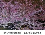 beautiful pink sakura cherry... | Shutterstock . vector #1376916965