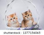 Stock photo easter cat kitten cat scottish straight loose fluffy animal munchkin 1377156065
