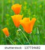 Orange California Poppy Flower...