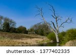 Skeletal Stunted Oak Tree In...
