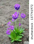 Small photo of Blossoming primrose the crenulate violet
