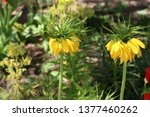 Yellow Crown Imperial Or...