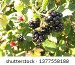 Selective Focus Of Blackberries ...