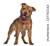 Stock photo staffordshire bull terrier months old with red collar standing isolated on white 137762162