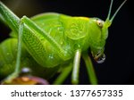 Macro View Of A Katydid Insect...