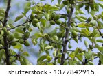 Unripe Green Apricot On A Tree