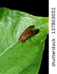fly macro on green leaf | Shutterstock . vector #137803052