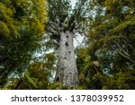 Kauri Tree  Giant Tree  In New...
