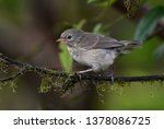 green warbler finch  certhidea... | Shutterstock . vector #1378086725