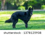 beautiful fun groenendael dog... | Shutterstock . vector #1378125938