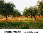 Trees Of Olives On A Field Of...