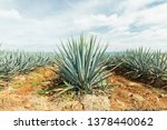 Detail Of Agave In Tequila ...